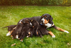 Mountain dog puppies Royalty Free Stock Photography