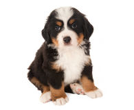 Mountain dog puppy Stock Image