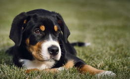 Mountain dog puppy Stock Images