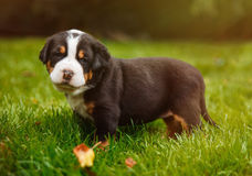 Mountain dog puppy on the grass Royalty Free Stock Photo