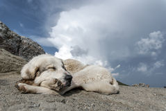 Mountain dog sleeping among clouds. A mountain dog sleeping among summer clouds, after the travelers are gone Royalty Free Stock Photography