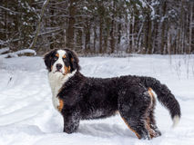 Mountain dog Royalty Free Stock Photography
