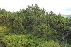 Mountain dwarf pine in Low Tatras mountains Stock Photos