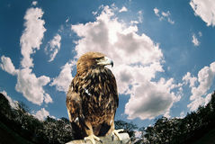 Mountain eagle. Royalty Free Stock Photography