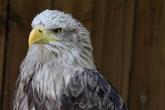 Mountain eagle Stock Image