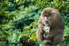 Mountain Emei - Monkey Stock Photo