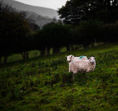 Mountain Ewes Royalty Free Stock Photography
