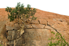 Mountain fig. On rock royalty free stock photography