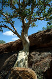 Mountain fig. On rock stock photography