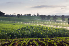Mountain filled with the little green corn, watering.  Stock Image