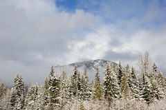 A mountain and fir trees Royalty Free Stock Photo