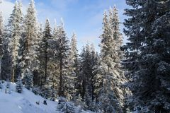 Mountain firs covered with snow. A beautiful winter landscape, a winter fairy tale in the mountains Royalty Free Stock Images
