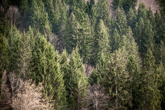 Mountain firs. Ther's a forest of firs that create a texture of natural trees. The main colors are dark greens and browns. The photo is taken frontally Stock Photography