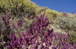 Mountain Flora with blue sky in the background. Purple and yellow flowers. Stock Image