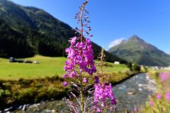 Mountain flora  in Trisanna Vally to Galtur Stock Image