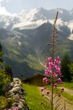 Mountain flower. Beautiful mountain scenery, with pink flower in front. [FLOWER IN FOCUS Royalty Free Stock Photo