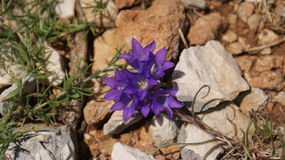 Mountain flower. Small violet mountain flower between stones Royalty Free Stock Photo