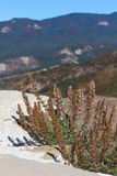 Mountain flower. Dry mountain flowers on the stone Royalty Free Stock Image