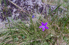 Mountain flower. Look at this modest charm among the stones! What a nice flower Royalty Free Stock Photo