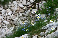 Mountain flower image - stones and the meadow full of chamomiles royalty free stock images