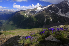 Mountain flowers Royalty Free Stock Photo