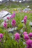 Mountain flowers. Purple flowers growing in a mountain field Stock Image