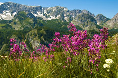 Mountain flowers. Spring flowers on mountain Maglic (Bosnia and Herzegovina Royalty Free Stock Image