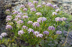 Mountain flowers Royalty Free Stock Images