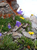 Mountain flowers Royalty Free Stock Photos