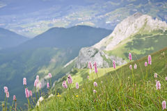 Mountain flowers. Royalty Free Stock Photography