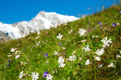 Mountain flowers Royalty Free Stock Image
