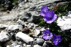 Mountain Flowers. Blue flowers on rocks in the mountain stock photography