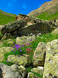 Mountain flowers. White, pink and violet flowers grow among rocks Royalty Free Stock Photos
