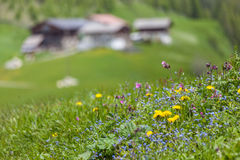 Mountain flowers and alp in South Tyrol Royalty Free Stock Image