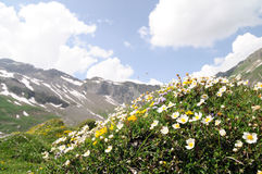 Mountain flowers in the Alps Stock Images