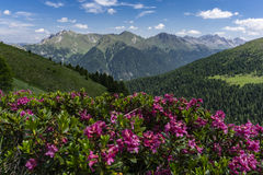 Mountain flowers on the background of the peaks. Dolomites. Italy. Stock Images