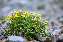 Mountain flowers Stock Photography