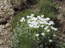 Mountain Flowers. The joy of flowers in nature Royalty Free Stock Image