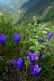 Mountain flowers like lilies in background Valley. Summer time, late June, early July. Mountain peak in Montenegro. Beautiful blue-purple flowers in the grass at Royalty Free Stock Photography