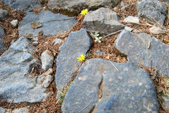 Mountain flowers. Little yellow flowers on the stones stock images