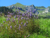 Purple wildflowers in alpine landscape at summer Stock Photos