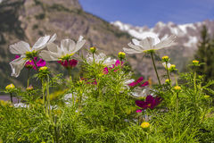 Mountain flowers near the Mont Blanc massif Aosta, Italy Stock Images
