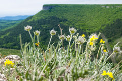 The mountain flowers. The photo of The mountain flowers in areal Crimea. Picture has done in bright sunny day in spring Stock Photos