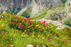Mountain flowers and pine, Dolomites, Italy Royalty Free Stock Photography