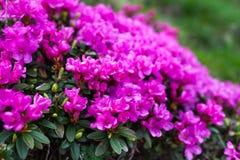 Mountain flowers Royalty Free Stock Photos