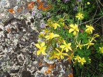 Mountain flowers. resort Issyk-Ata in Kyrgyzstan. . tutsan Stock Photo