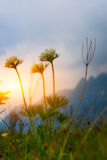 Mountain flowers at sunset stock photography