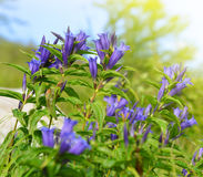 Mountain flowers of a willow gentian Royalty Free Stock Photos