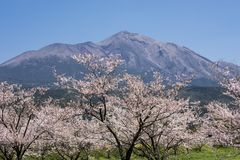 Mountain and flowers. Yoshino cherry blossoms in front of Mount Takachihonomine Stock Photography