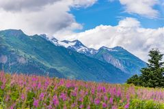 Mountain with foreground Fireweed flowers and cloudy sky Alaska. On a cold summers day stock photo